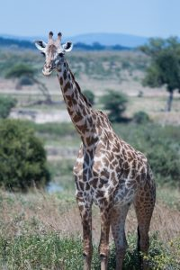 Giraffe with lush savannah in background