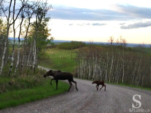 Moose - Mother followed by baby